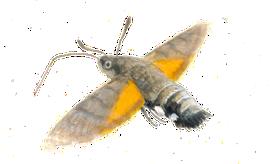 Kolibrievlinder / Elwin van der Kolk