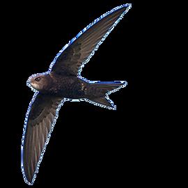 Gierzwaluw / Birdphoto