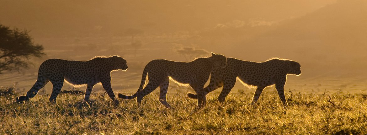 Cheetahs in Kenya / A Life On Our Planet