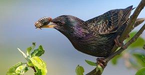 Spreeuw met insect / Shutterstock