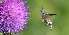 Kolibrievlinder / Hans Peeters