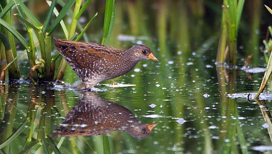 Porseleinhoen / Birdphoto