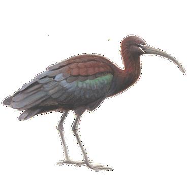 Zwarte ibis / Elwin van der Kolk