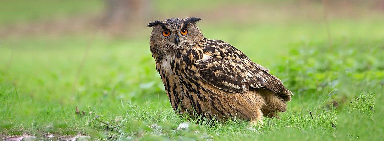 Oehoe / Birdphoto