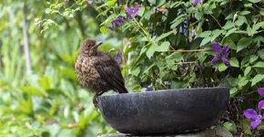 vrouwtje merel / Shutterstock