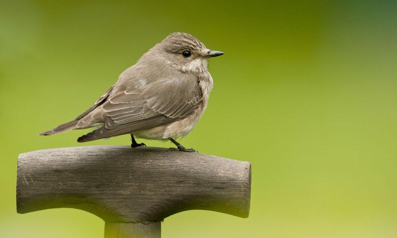 Grauwe vliegenvanger / Agami - Wil Leurs