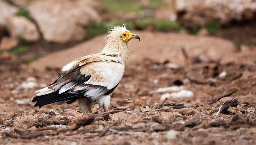 Aasgier / Birdphoto
