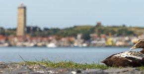 Eider op Terschelling / Shutterstock