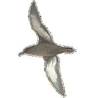 Grauwe pijlstormvogel / Elwin van der Kolk