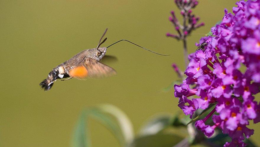 Kolibrievlinder / Saxifraga