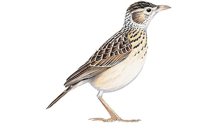 Somalische sporenleeuwerik / BirdLife