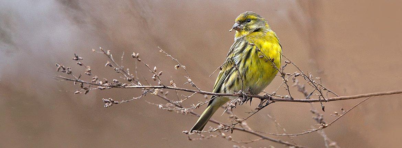 Europese kanarie / Birdphoto