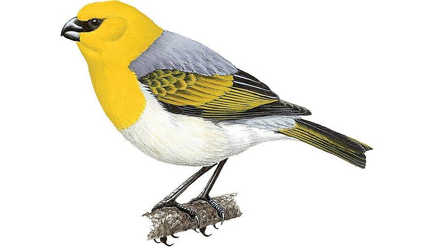 Palila / BirdLife