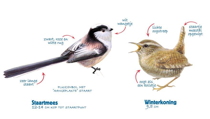 Infographic staartmees - winterkoning