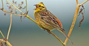 Geelgors / Birdphoto