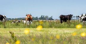 Koeien / Fred van Diem