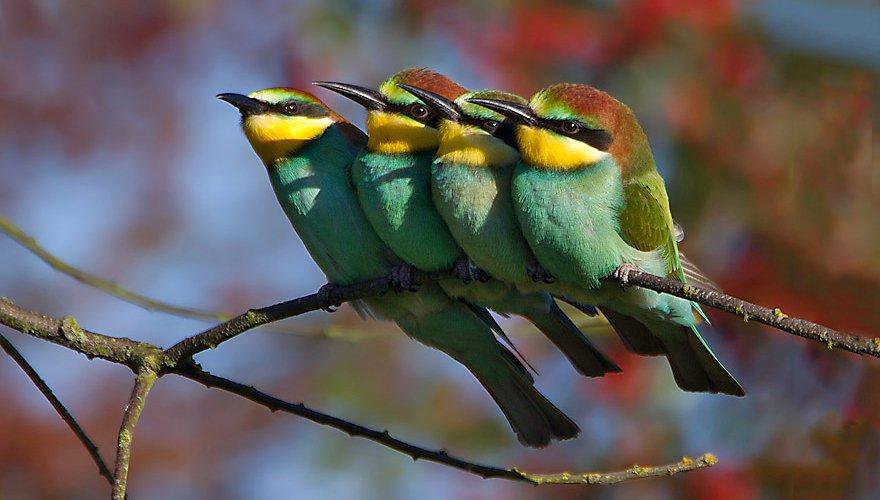 Bijeneter / Birdphoto