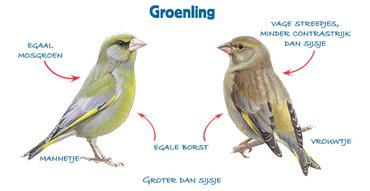 Infographic groenling