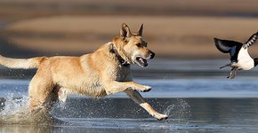 Hond verstoort scholekster / Shutterstock