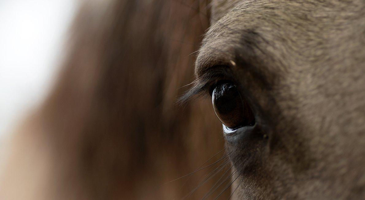 Koninkpaard / Hans Peeters