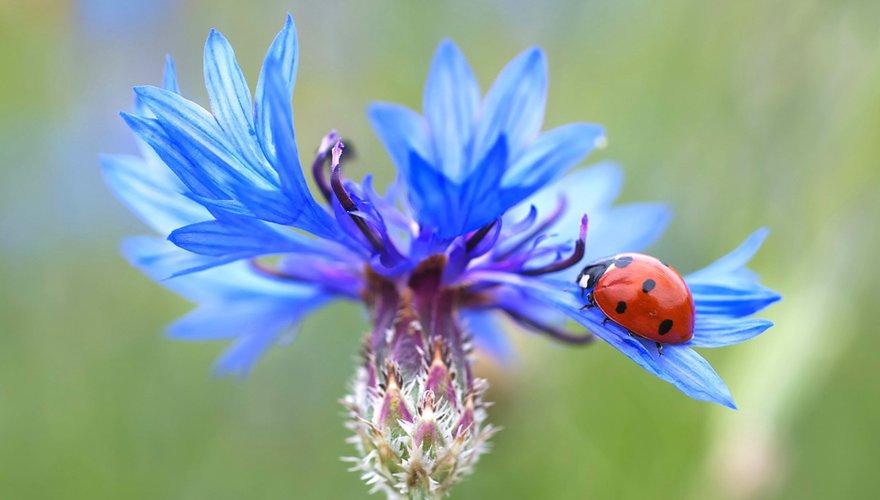Lieveheersbeestje / Pixabay