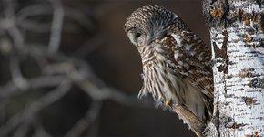 Gestreepte bosuil / Shutterstock