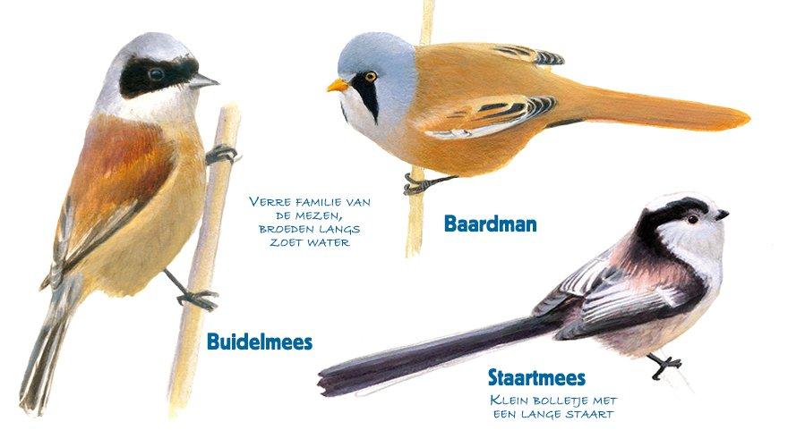 Infographic baardman - buidelmees - staartmees