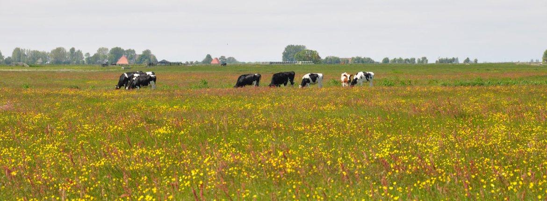 Weide met koeien / Rene Faber