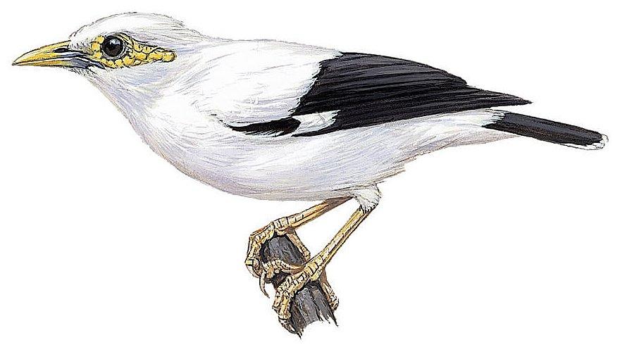 Zwartvleugelspreeuw / BirdLife