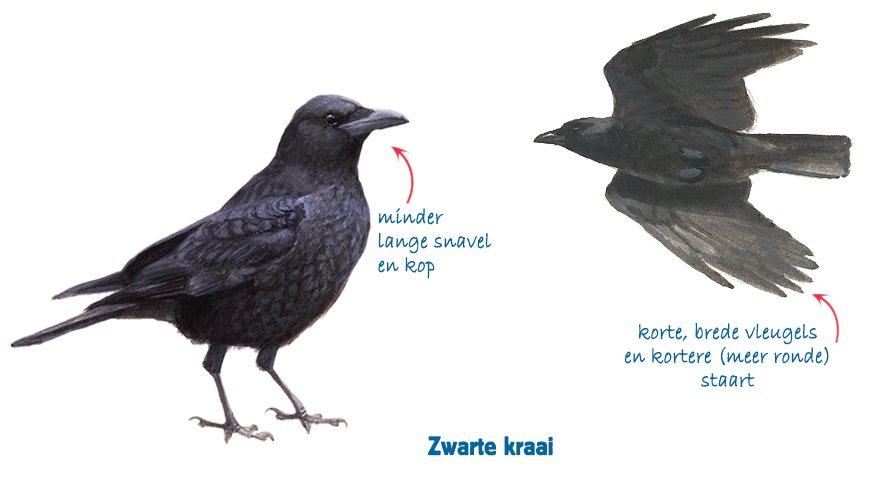 Infographic zwarte kraai