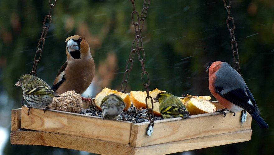 Sijs goudvink appelvink voer / Shutterstock