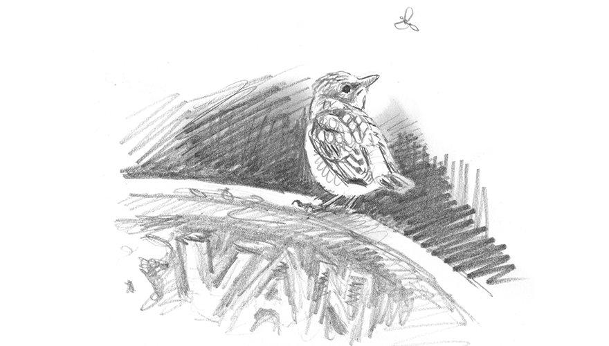 Grauwe vliegenvanger tekening / Elwin van der Kolk