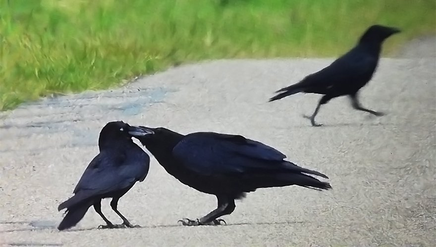 Zwarte kraai voert jonge raaf / Hans Hut