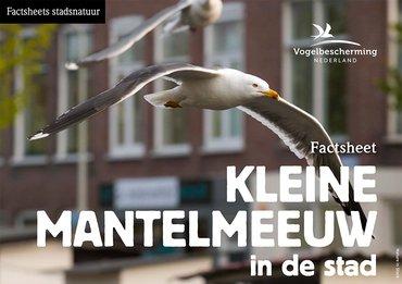 Factsheet stadsvogels Kleine mantelmeeuw