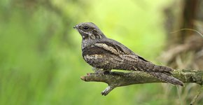 Nachtzwaluw / Shutterstock