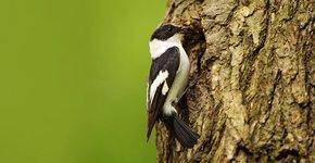 Withalsvliegenvanger / Shutterstock
