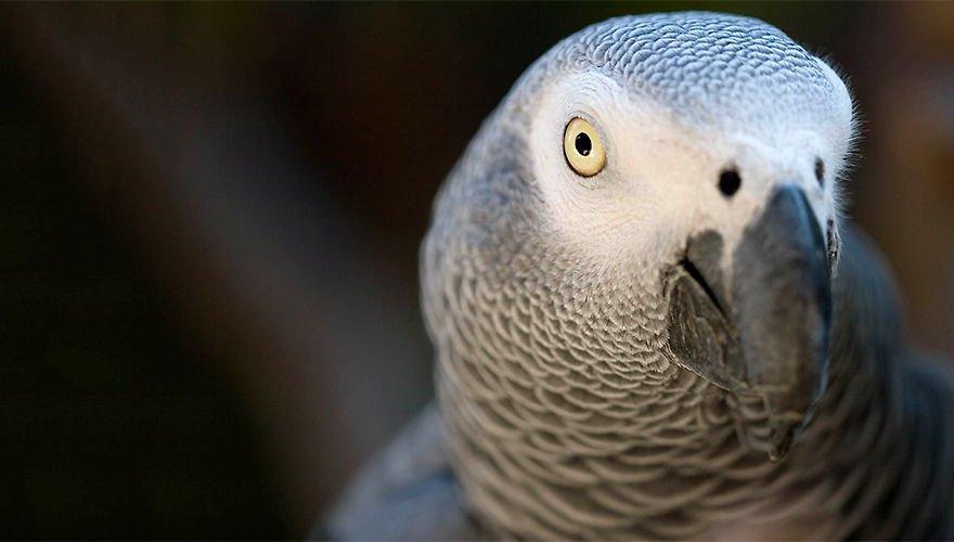 Rode lijst grey parrot / Ken Schwarz - Flickr