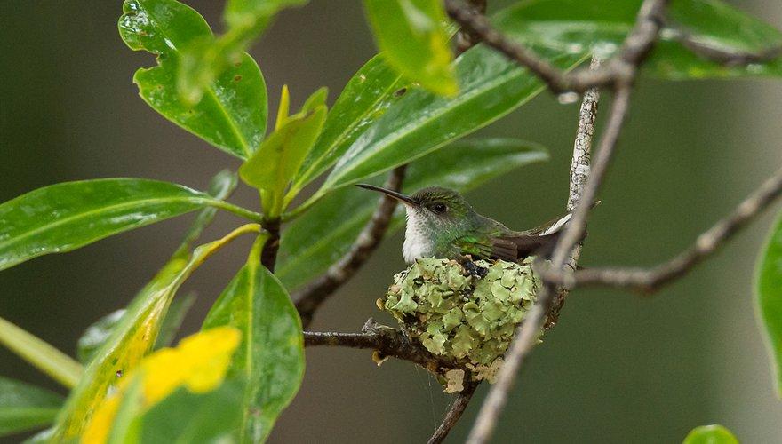 Mangrove kolibrie / Hans Peeters