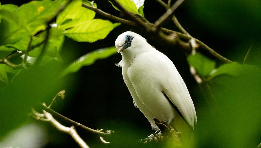 Balispreeuw / Nature in Stock