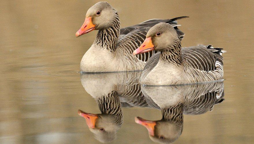 Grauwe gans / Jelle de Jong