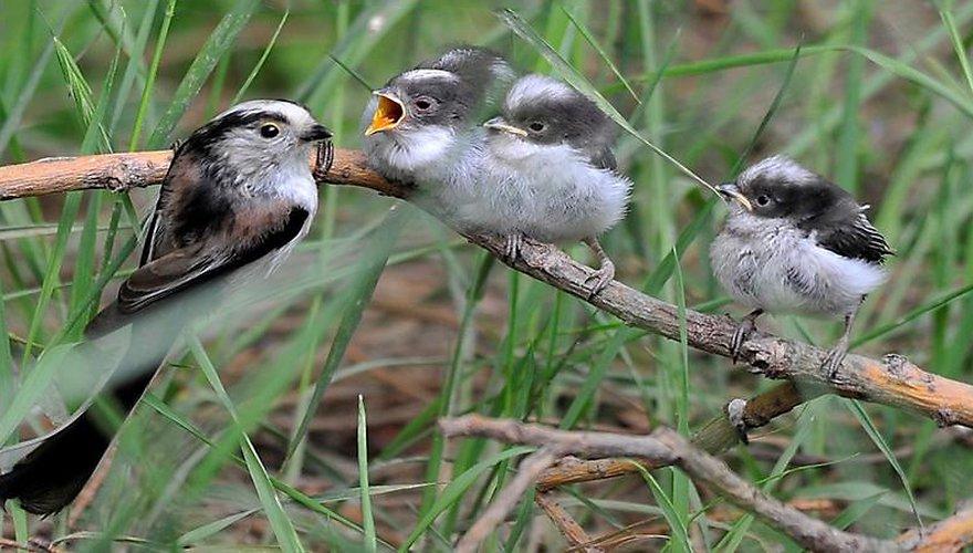 Staartmees / jpieper - Vogelweb