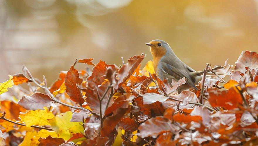 Roodborst / Shutterstock