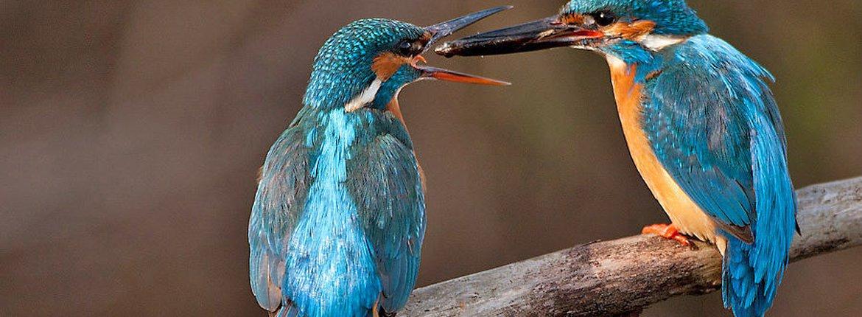 ijsvogel / Birdphoto