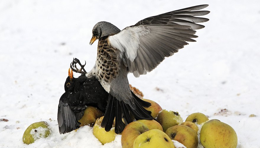 Merel en kramsvogel / Shutterstock
