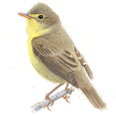 Orpheus spotvogel / Elwin van der Kolk