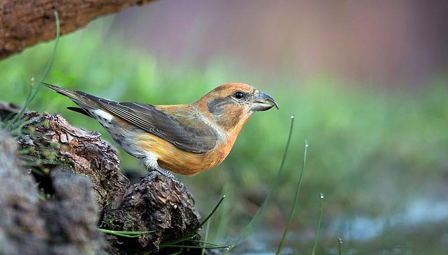 Kruisbek / Birdphoto