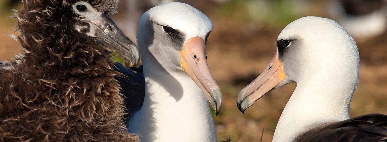 Laysan albatros / Otto Plantema