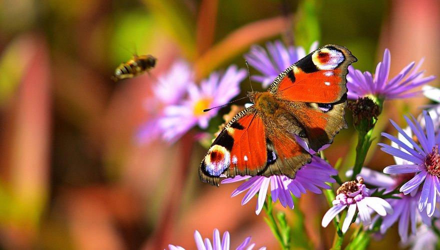 Vlinder op bloemen / Pixabay