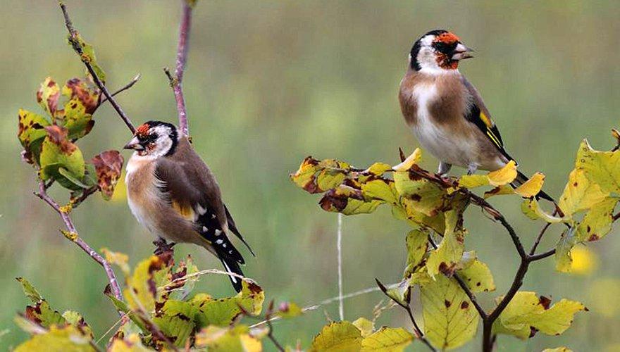 Putter / Jannie - Vogelweb