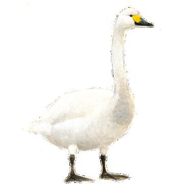 Kleine zwaan / Elwin van der Kolk